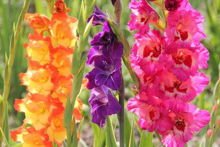 Краткие правила выращивания гладиолусов