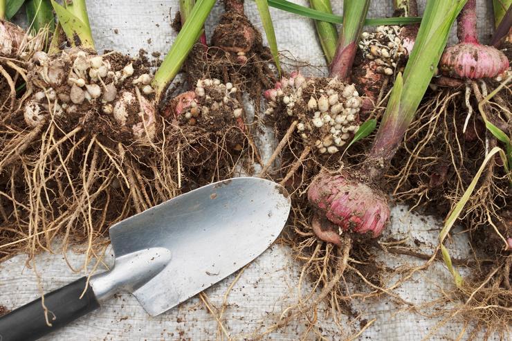 Выкапывание и хранение луковиц гладиолусов