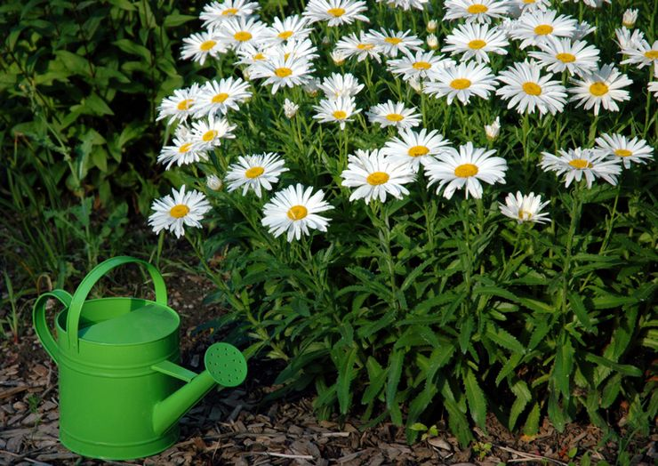 Особенности ухода за нивяником в саду