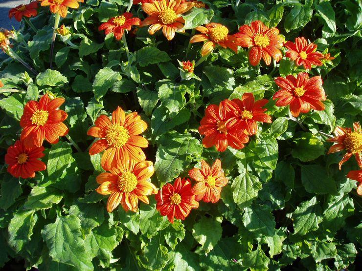Основные правила выращивания титонии