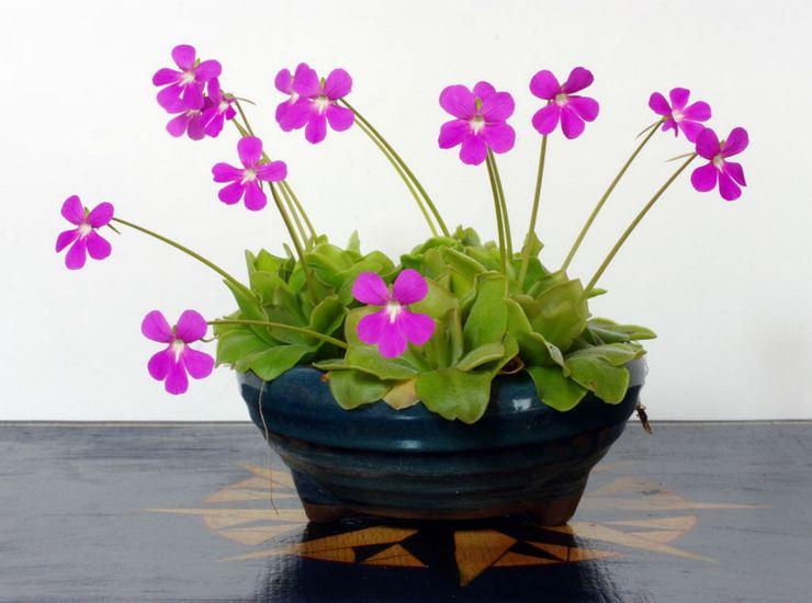 Растение жирянка