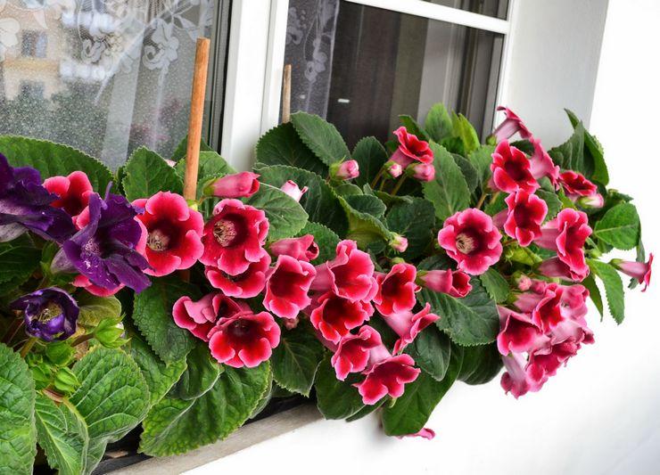Цветок синнингия