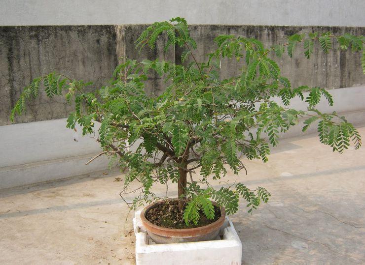 Выращивание тамаринда