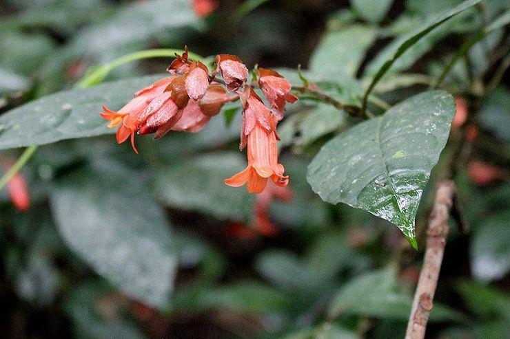 Уайтфельдия кирпично-красная