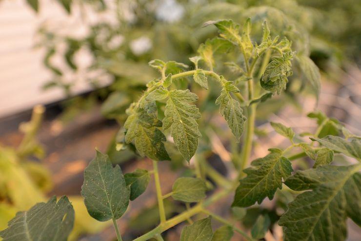 Белокрылка на помидорах в теплице