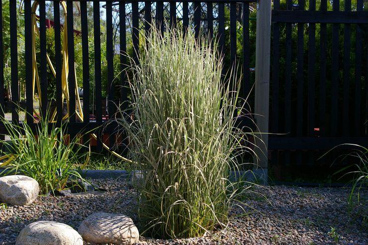 Выращивание вейника в саду