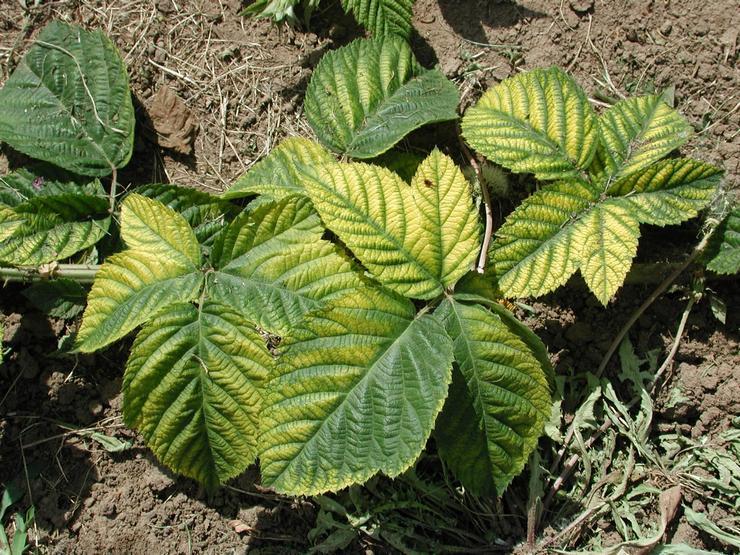 Хлороз малины