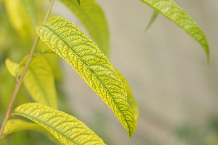 Хлороз персика