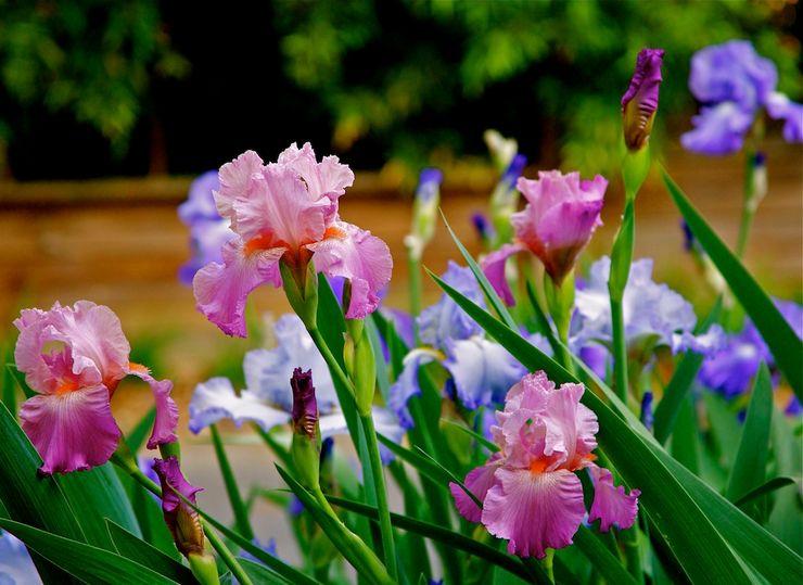 Уход за ирисами в саду