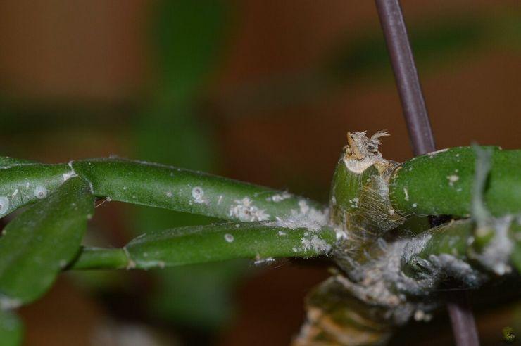 Мучнистый червец на кактусах