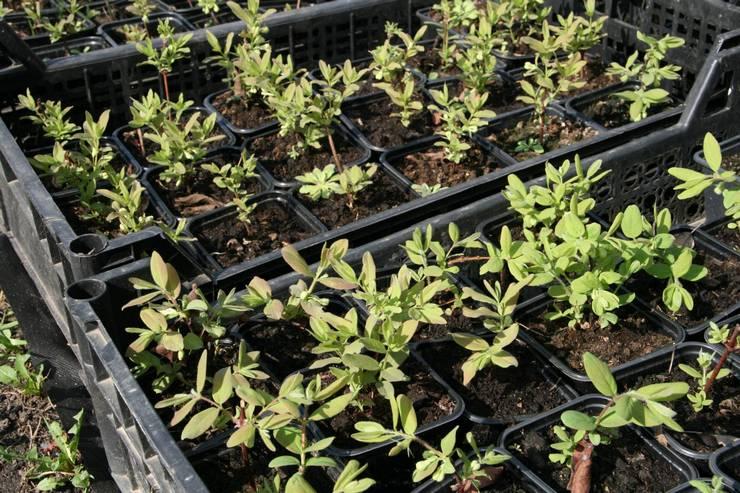 Выращивание жимолости из семян