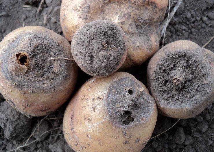 Фузариоз на картофеле