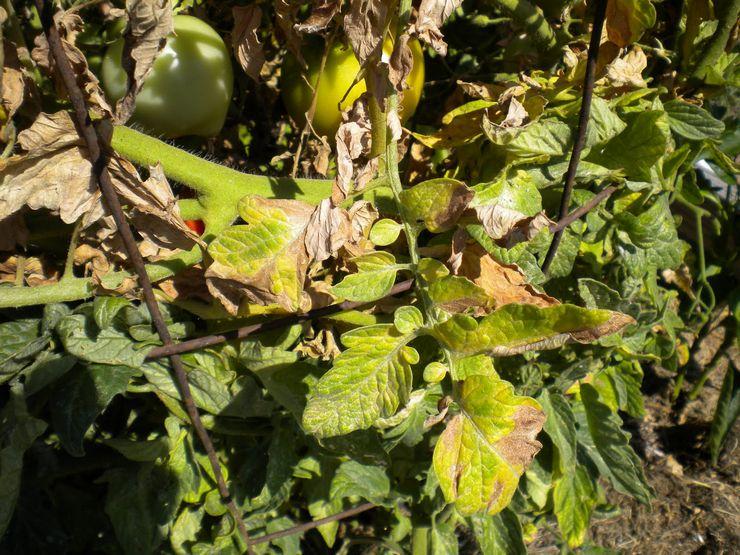 Фузариоз помидоров