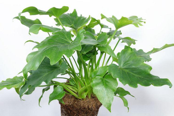 Почва для выращивания филодендрона