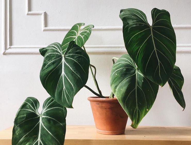 Растение филодендрон
