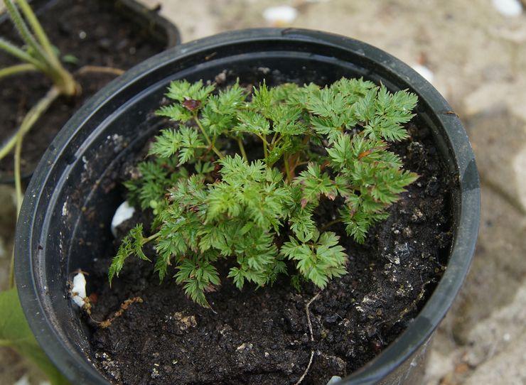 Выращивание волжанки из семян