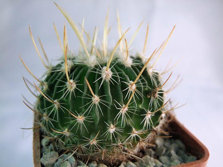 Растение эхинокактус
