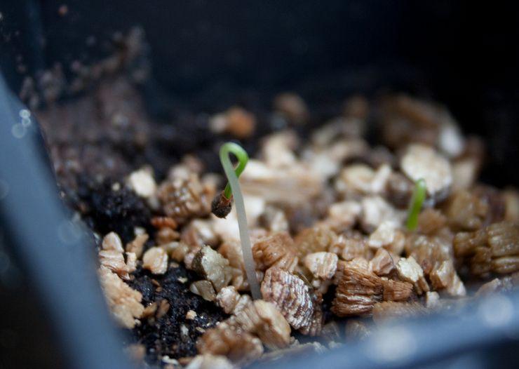 Посев семян эшшольции
