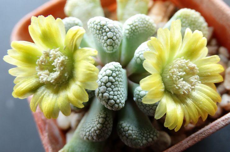 Цветение титанопсиса