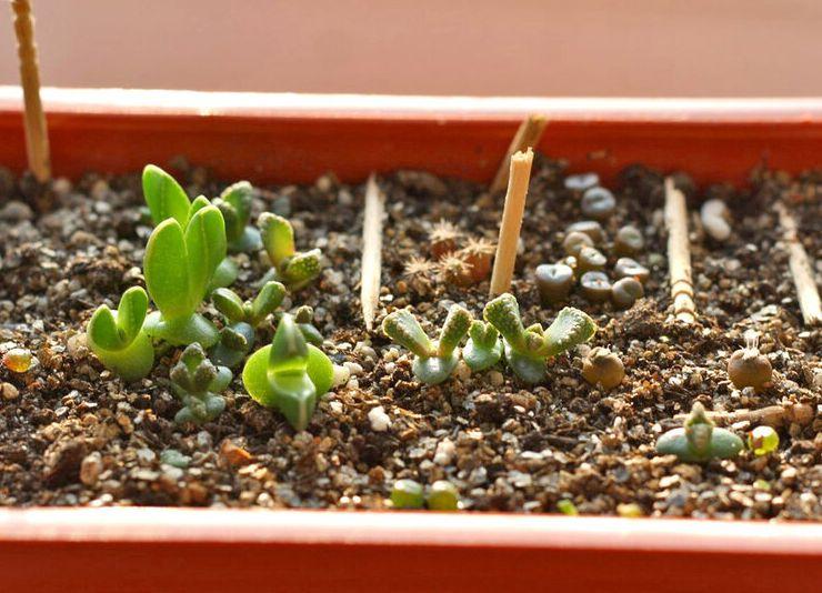 Выращивание титанопсиса из семян