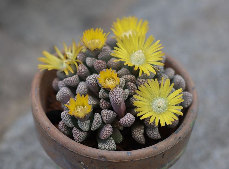 Растение титанопсис