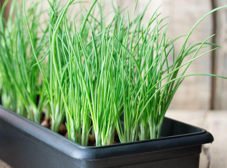 Зеленый лук: вред и польза