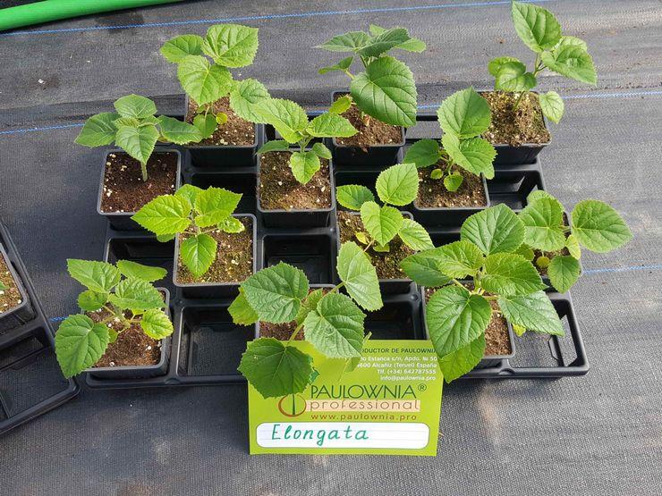 Выращивание павлонии из семян