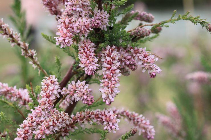 Растение мирикария