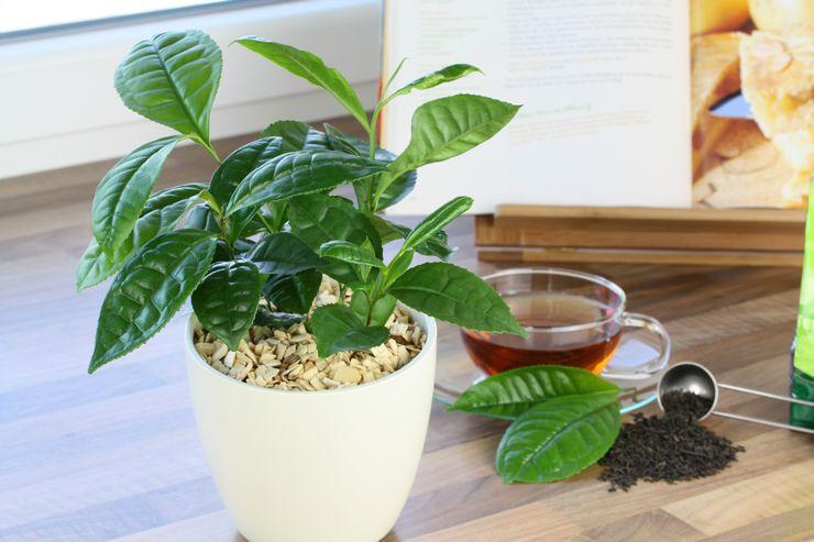 Можно ли поливать растения чаем и заваркой