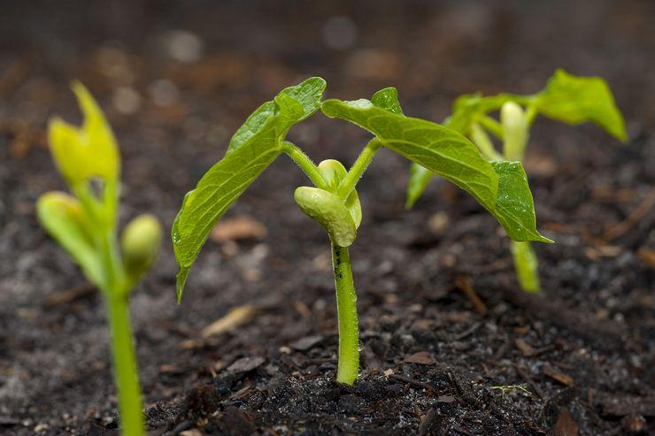 Выращивание спаржевой фасоли из семян