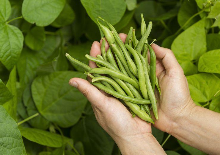 Сбор урожая спаржевой фасоли и его хранение