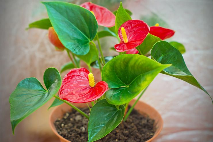Почему антуриум не цветет