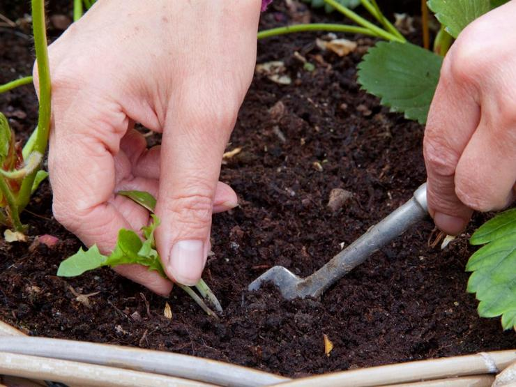 Выращивание рассады репы
