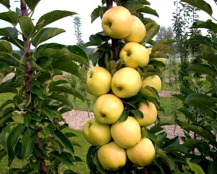 Летние сорта колоновидной яблони