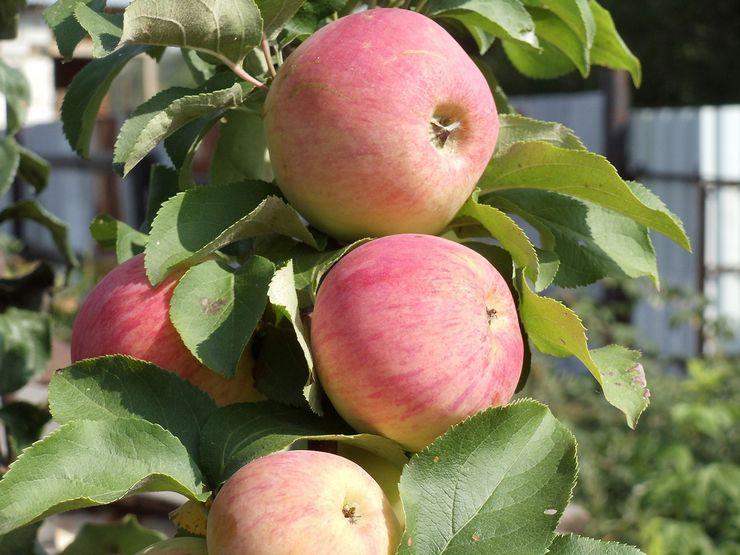 Описание колоновидной яблони