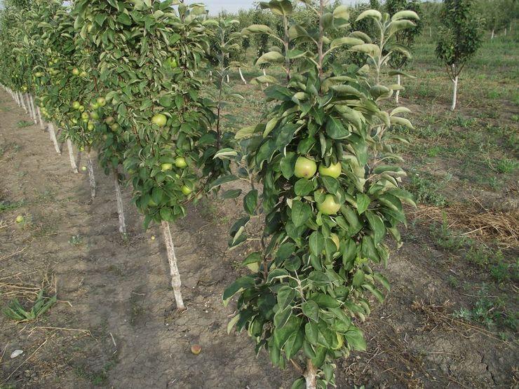 Полив колоновидной яблони