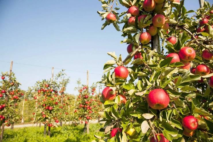 Лучшие сорта колоновидной яблони для Подмосковья