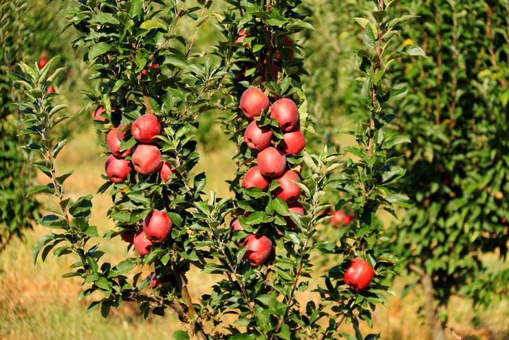 Летний уход колоновидной яблони