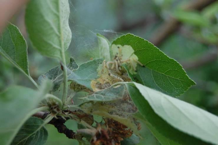 Вредители колоновидной яблони