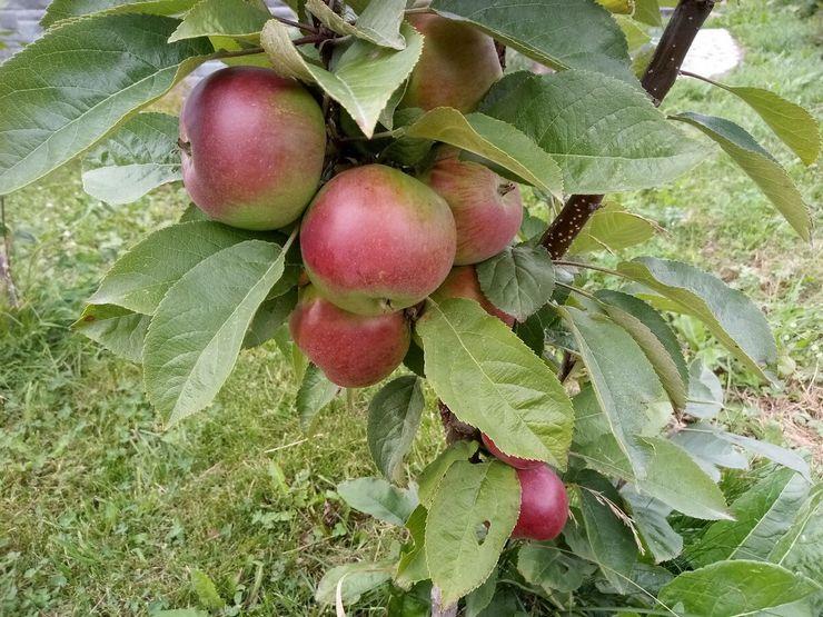 Зимние сорта колоновидной яблони