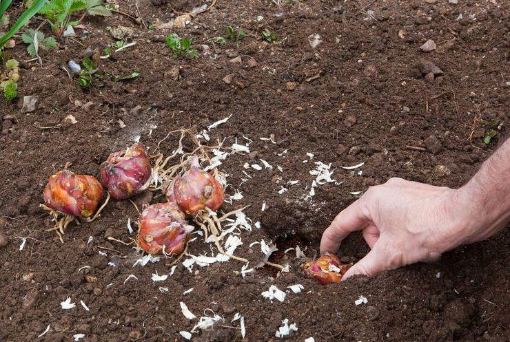 Посадка лилий в открытый грунт