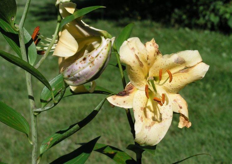 Сложности выращивания лилий