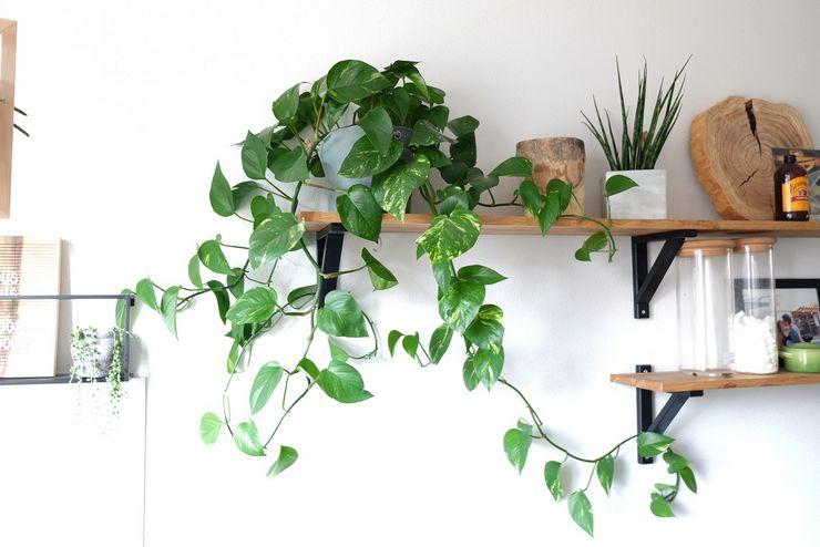 Теневыносливые вьющиеся растения