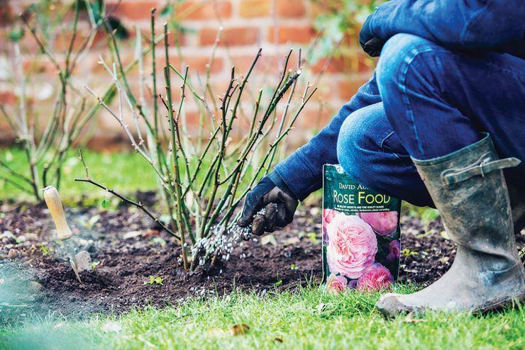 Подкормки роз после зимы