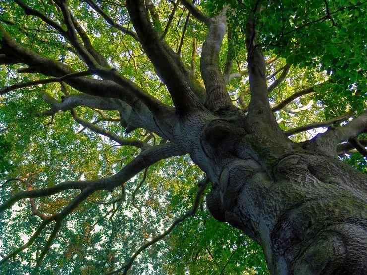 Как выглядит дерево бук
